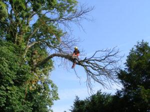 Démontage d'un arbre mort