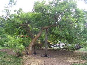 Soutiens sur plaques d'aciers sur un magnolia